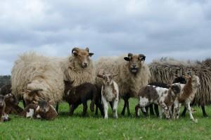 Groep ooien met lammeren