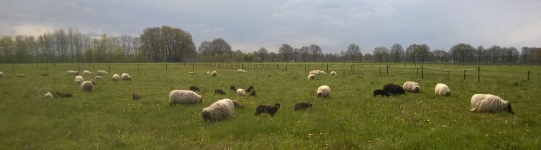 De ooien met lammeren lopen nu op een nieuw begrazingsterrein in Benneveld