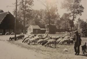 Schaapskudde in Odoorn, omstreeks 1930