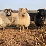 Drentse heideschapen van de schaapskudde van Benneveld